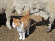"Two lambs ""petting"" a cat."
