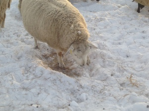 A ewe pawing through the snow to reach some grass