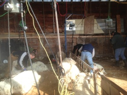 Shearers working hard