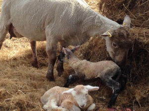 A ewe with her pair of newborn lambs