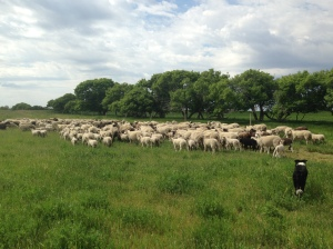 Moving ewes and lambs to the next pasture
