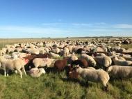 Weaned lambs 2015