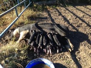 Pig-Wig working hard