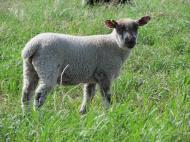 Clun Forest cross ewe lamb.
