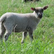 Clun Forest cross ewe lamb.