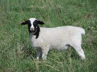 Dorper ewe lamb.