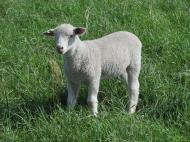 Dorset cross ewe lamb.