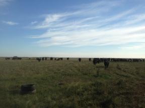 Cows and calves on the native prairie.