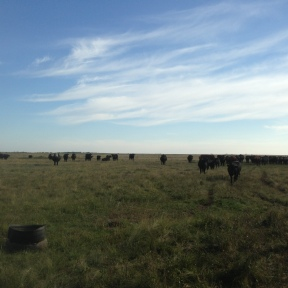 Cows and calves on the native prairie.