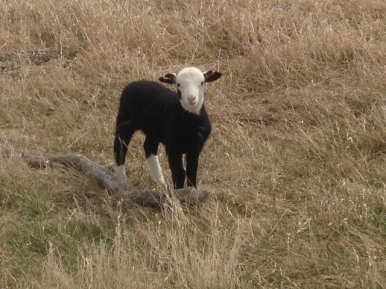 Lamb that looks like a calf - unusual markings