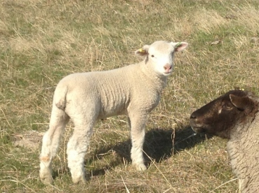 Very nice looking Dorset cross lamb