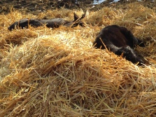 Hard to beat a nap in the sun on a fresh bed of straw