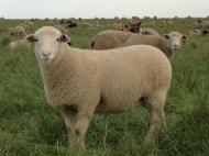 A dandy ewe lamb