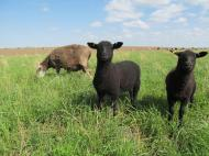 Layla and her twin ewe lambs.