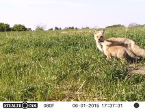 Momma fox caught on the trail-cam