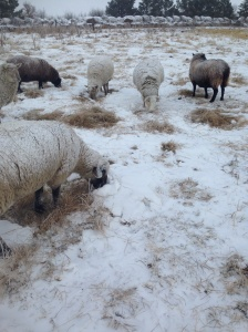 The ewes do a good job of pawing through the snow for a tasty treat. These ewes are eating Russian Wild Ryegrass.