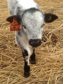An example of tags we put in calves