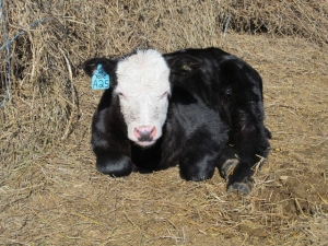 Example of an ear tag in a steer calf