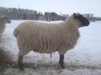 A Clun ewe in full fleece.