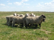 The rams on pasture this spring. The Clun ram at the front is my first Clun ram, 6 years old in this picture.