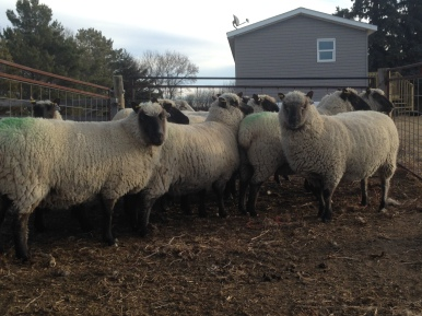 Purebred Clun Forest ewes. (November 2015)
