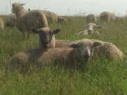 Clun cross ewe in the back with her Dorset sired ewe lamb
