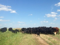 Moving cattle to a new pasture - Lola can't let Jack have all the fun!
