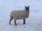 A ewe showing a typical alert Clun look